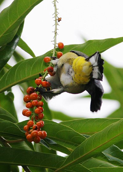 Long-tailed Silky-flycatcher (Ptilogonys caudatus) sneaking a peek