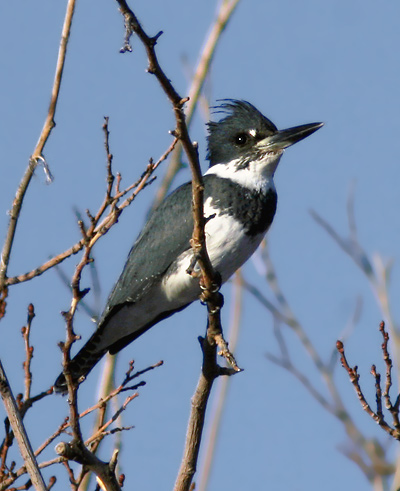 Male Belted Kingfisher (Megaceryle alcyon, formerly Ceryle alcyon)