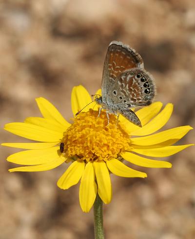 Western Pygmy-Blue (Brephidium exilis or B. exile) butterfly