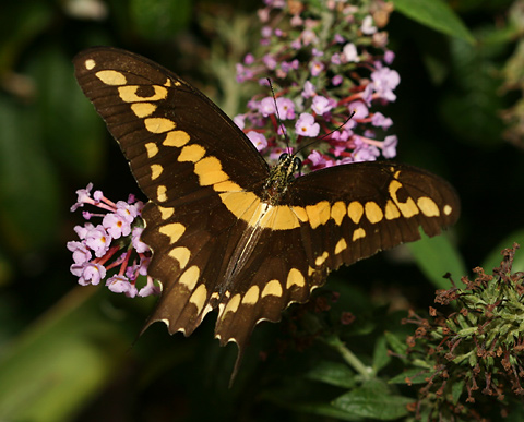 Giant Swallowtail (Papilio cresphontes) butterfly on Orange Eye Butterflybush (Buddleja davidii) flowers