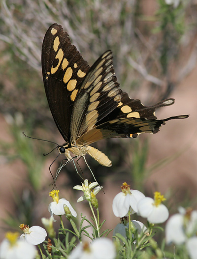 Giant Swallowtail (Papilio cresphontes) on Desert Zinnia (Zinnia acerosa) flowers