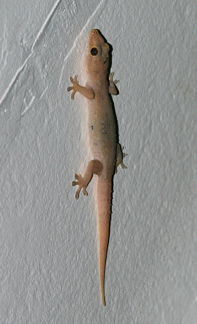 Side view of a Bridled House Gecko or Common House Gecko (Hemidactylus frenatus)