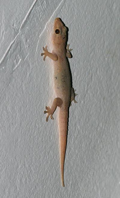 Side view of a Bridled House Gecko or Common House Gecko (Hemidactylus frenatus)