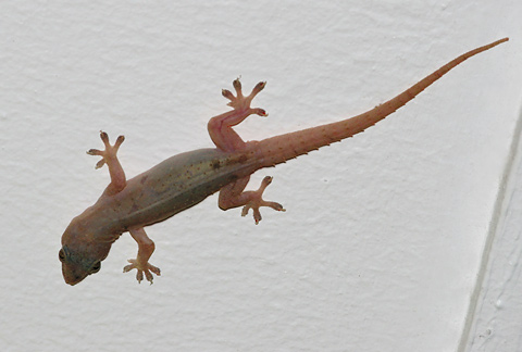 Bridled House Gecko or Common House Gecko (Hemidactylus frenatus) on the ceiling