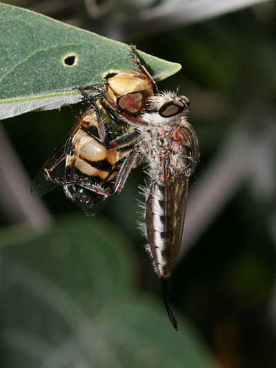 Female Robber Fly (Family Asilidae) with a captured Eristalis Fly (Eristalis sp.)