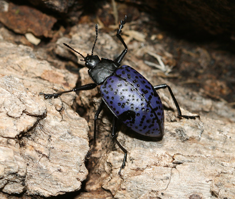 Pleasing Fungus Beetle (Gibbifer californicus)
