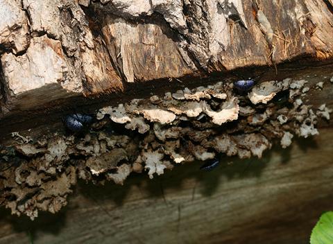 Pleasing Fungus Beetles (Gibbifer californicus) feeding on Bracket Fungi