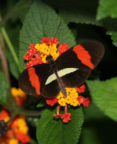 Postman Butterfly (Heliconius melpomene rosina) on Lantana camara flowers in Costa Rica