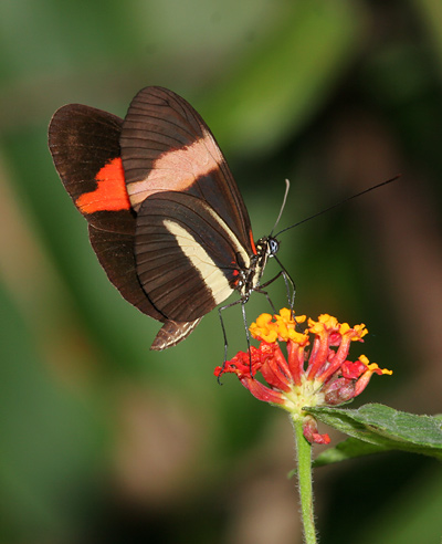 Ventral view of a Postman Butterfly (Heliconius melpomene rosina) on Lantana camara flowers in Costa Rica