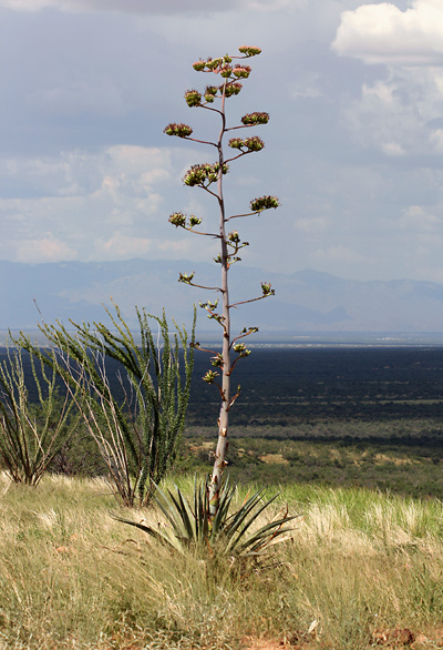 Flower stalk on a blooming Palmer's Agave or Palmer's Century Plant (Agave palmeri)