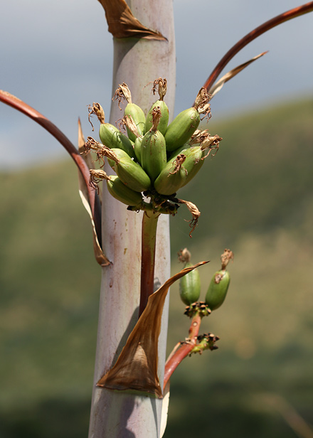 Green fruit on a Palmer's Agave or Palmer's Century Plant (Agave palmeri)