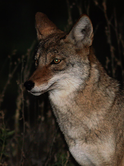 Twilight Coyote (Canis latrans) with green eye-shine