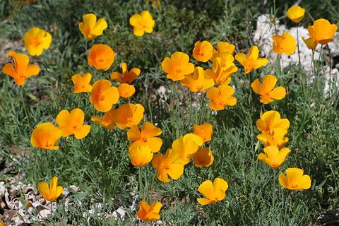 California or Mexican Gold Poppies (Eschscholzia californica ssp. mexicana)