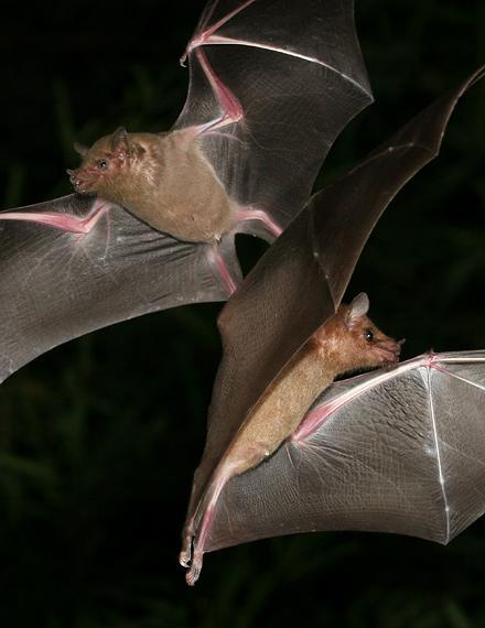 Lesser Long-nosed Bats (Leptonycteris curasoae yerbabuenae)