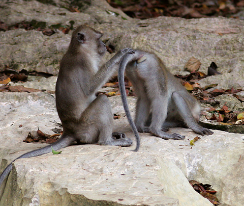 Crab-eating or Long-tailed Macaques (Macaca fascicularis) in Khao Sok National Park, Thailand