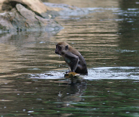 Juvenile Crab-eating or Long-tailed Macaque (Macaca fascicularis) swimming in Khao Sok National Park, Thailand