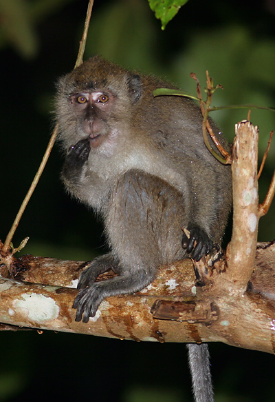 Crab-eating or Long-tailed Macaque (Macaca fascicularis) in Khao Sok National Park, Thailand