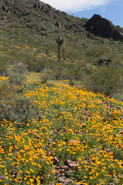 Field of California or Mexican Gold Poppies (Eschscholzia californica ssp. mexicana) in Picacho Peak State Park, Arizona