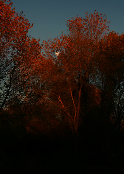 Full moon and Fremont Cottonwoods (Populus fremontii) bathed in the dying light of a blood-red sunset