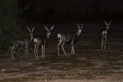 Twilight herd of Mule Deer (Odocoileus hemionus)