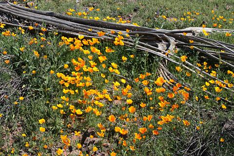 Saguaro ribs and California or Mexican Gold Poppies (Eschscholzia californica ssp. mexicana)