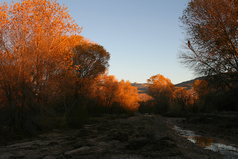 Fremont Cottonwoods (Populus fremontii) with autumn foliage at sunset in the Tanque Verde Wash in Tucson, Arizona