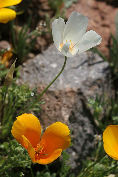 Rare white-flowered California or Mexican Gold Poppy (Eschscholzia californica ssp. mexicana)
