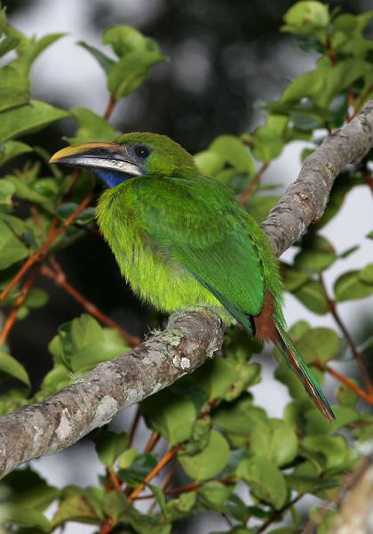 Blue-throated Toucanet (Aulacorhynchus caeruleogularis)