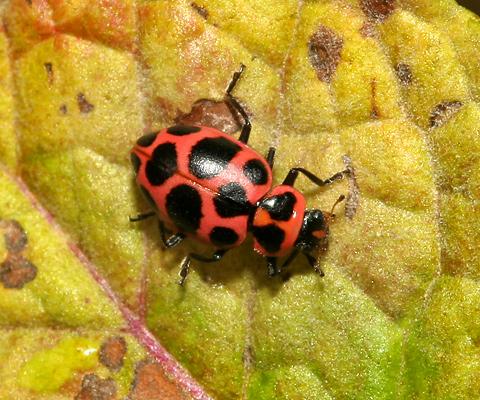 Twelve-spotted Lady Beetle or Pink-spotted Lady Beetle (Coleomegilla maculata)