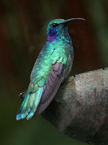 Green Violet-ear (Colibri thalassinus) hummingbird showing blue-green iridescence