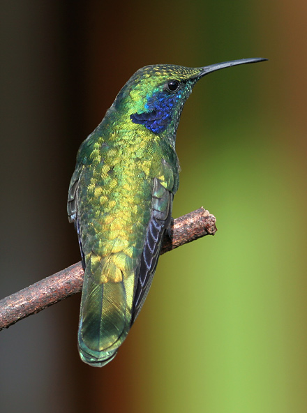 Green Violet-ear (Colibri thalassinus) hummingbird showing golden green iridescence