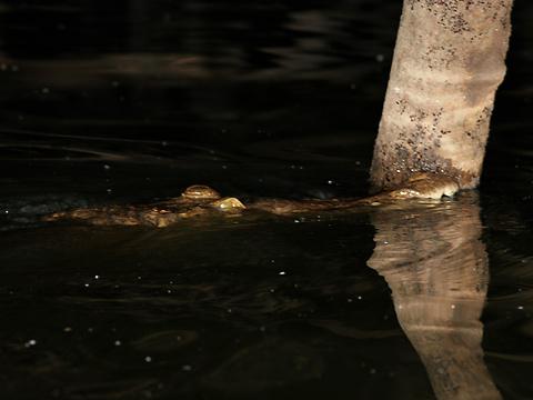 American Crocodile (Crocodylus acutus) colliding with a tree