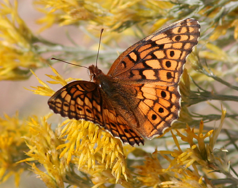 Variegated Fritillary (Euptoieta claudia) butterfly showing its dorsal wing surfaces