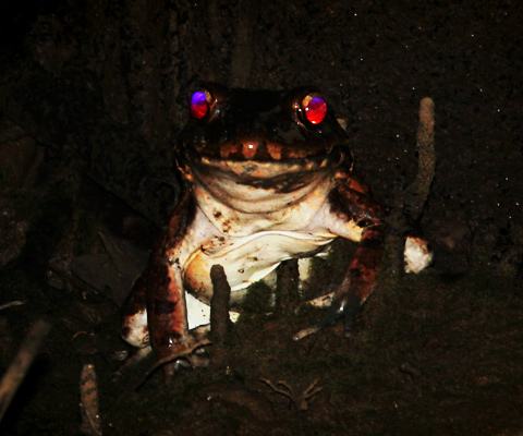 Smoky Jungle Frog (Leptodactylus pentadactylus) with red and blue reflecting eyes (a.k.a. the Hypnotoad)
