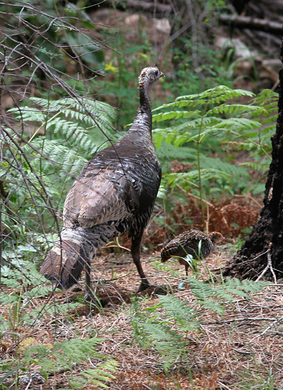 Female Gould's Wild Turkey (Meleagris gallopavo mexicana) with a poult (chick)