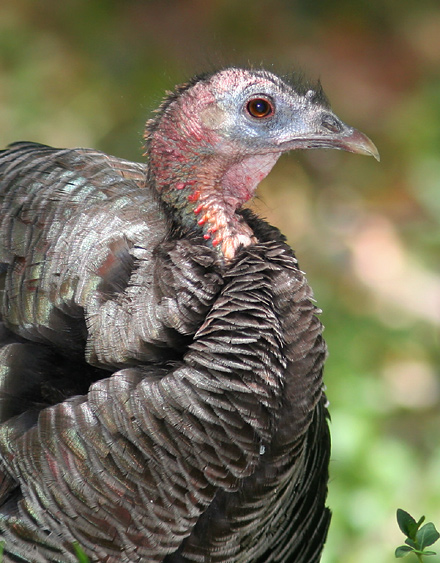 Close-up of a female Gould's Wild Turkey (Meleagris gallopavo mexicana)