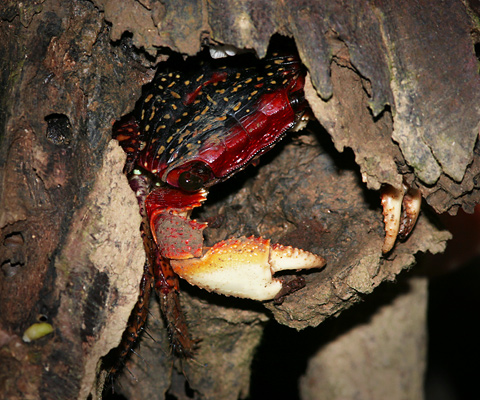 Red, spotted mangrove crab hiding in tree bark
