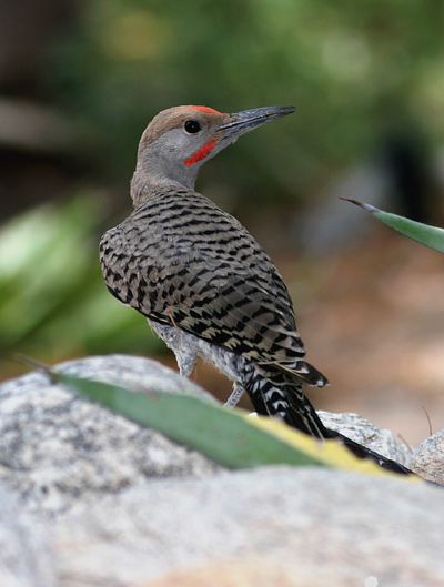 Adult male Gilded Flicker (Colaptes chrysoides)