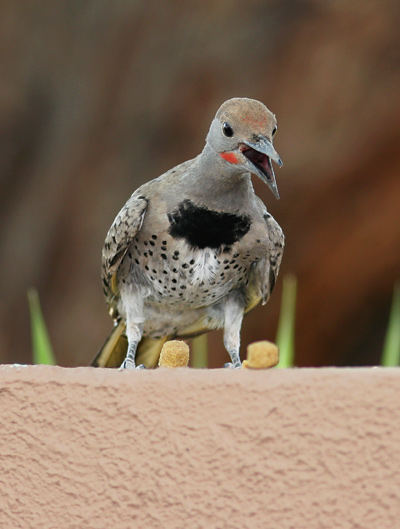 Immature male Gilded Flicker (Colaptes chrysoides)