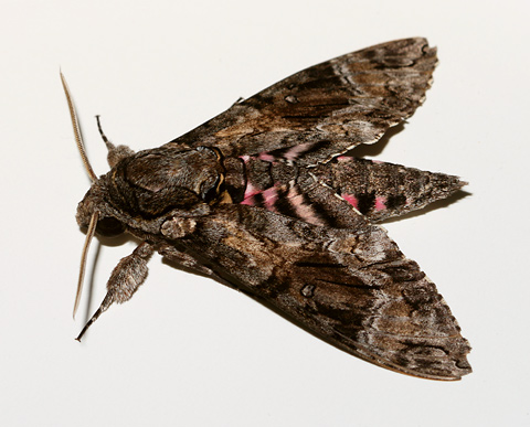 Pink-spotted Hawkmoth (Agrius cingulata, formerly A. cingulatus)