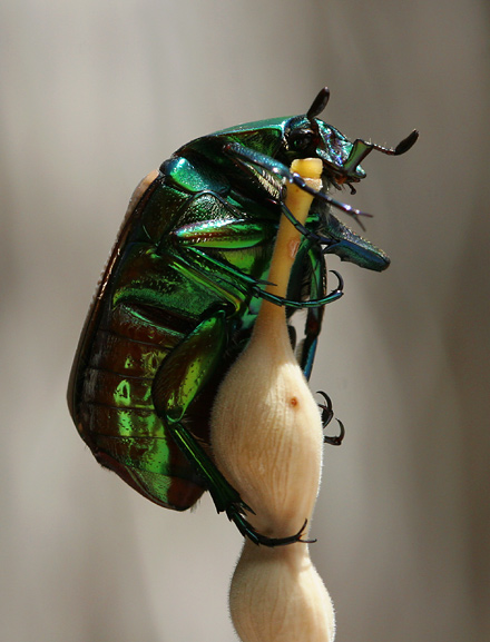 Figeater Beetle (Cotinis mutabilis) on a Velvet Mesquite (Prosopis velutina) bean