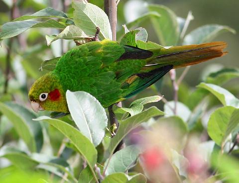 Sulphur-winged Parakeet (Pyrrhura hoffmanni) in an apple tree