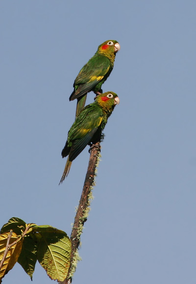 Pair of Sulphur-winged Parakeets (Pyrrhura hoffmanni) in the treetops