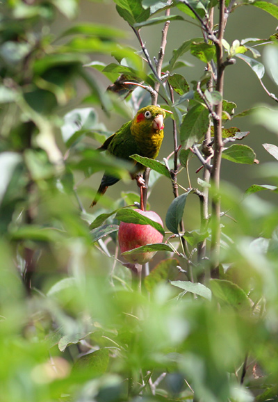 Sulphur-winged Parakeet (Pyrrhura hoffmanni) eating an apple