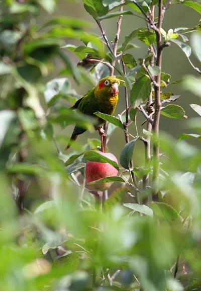 Sulphur-winged Parakeet (Pyrrhura hoffmanni) eating an apple