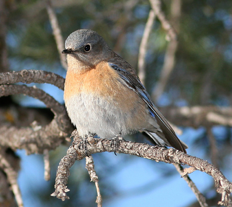 Female Western Bluebird (Sialia mexicana)