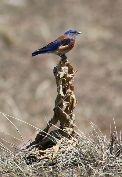 Male Western Bluebird (Sialia mexicana) perched on an insect foraging lookout