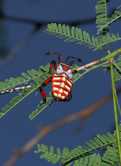 Nymph of a Giant Mesquite Bug or Leaf-footed Bug (Thasus neocalifornicus) on a Velvet Mesquite (Prosopis velutina)