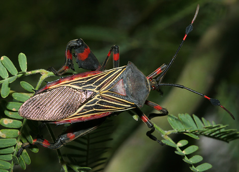 Adult male Giant Mesquite Bug or Leaf-footed Bug (Thasus neocalifornicus) on a Velvet Mesquite (Prosopis velutina)