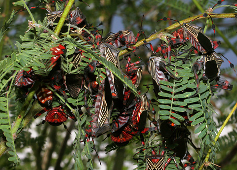 Mass of feeding Giant Mesquite Bugs or Leaf-footed Bugs (Thasus neocalifornicus) on a Velvet Mesquite (Prosopis velutina)